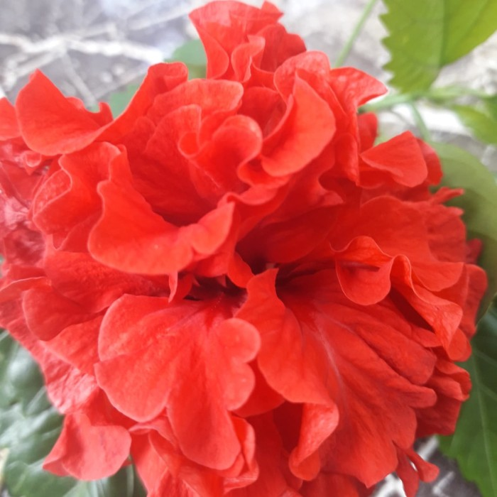 Jual Bibit Bunga Kembang Sepatu Tumpuk Merah Bibit Tanaman Kembang