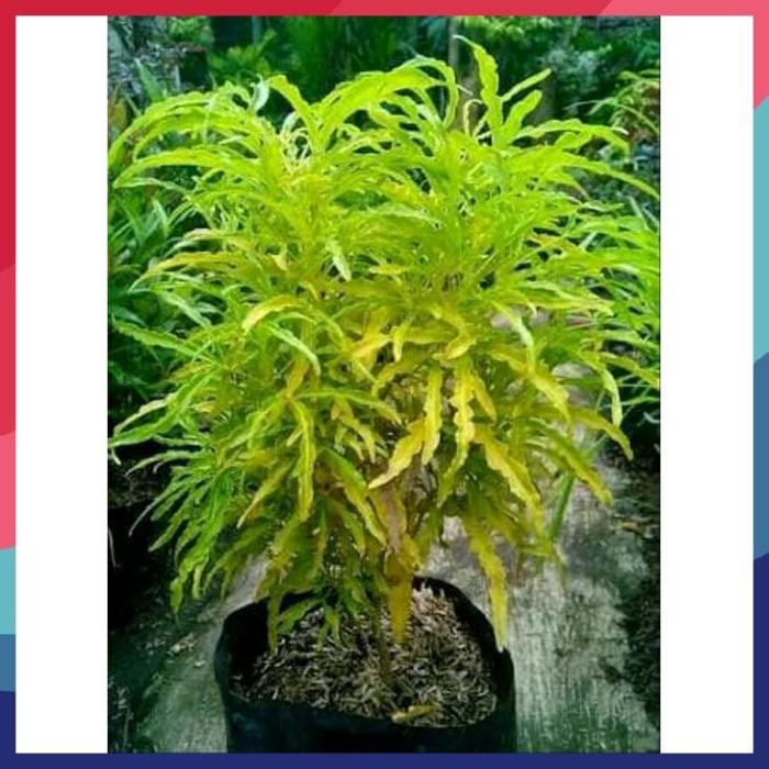Jual Hot Tanaman Hias Brokoli Kuning Jakarta Barat Yasin Helf24 Diskon Tokopedia