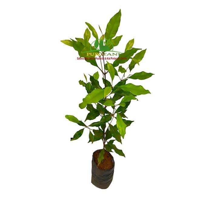 Foto Produk Pohon bibit cengkeh unggulan dari Purotani