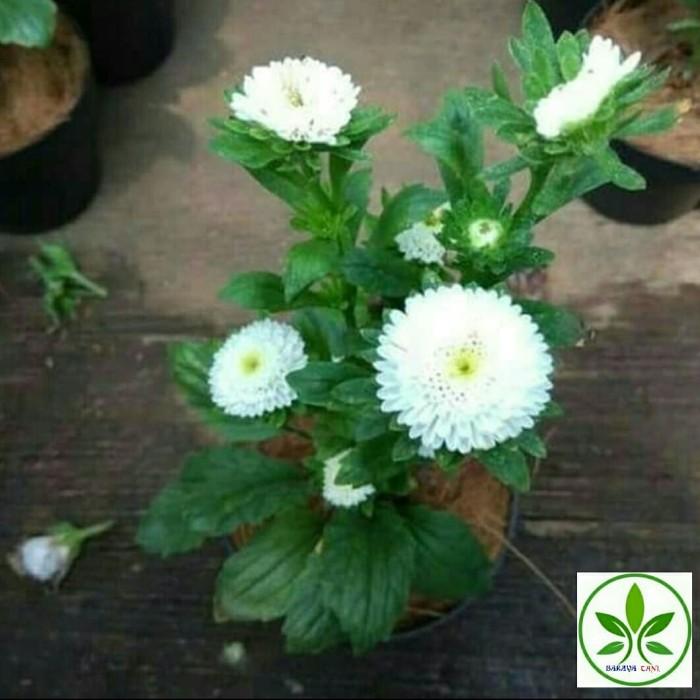 Jual Bibit Tanaman Bunga Aster Bunga Krisan Putih Kab Bogor Barayatani Tokopedia