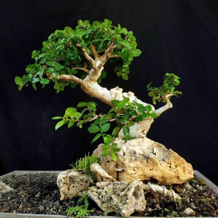 Jual Bonsai Pohon Serut On The Rock Ori Alam Small Istimewa