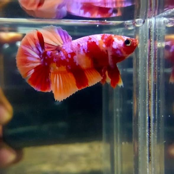 Jual Ikan Cupang Nemo Kota Tangerang Afandi Bettafish Tokopedia