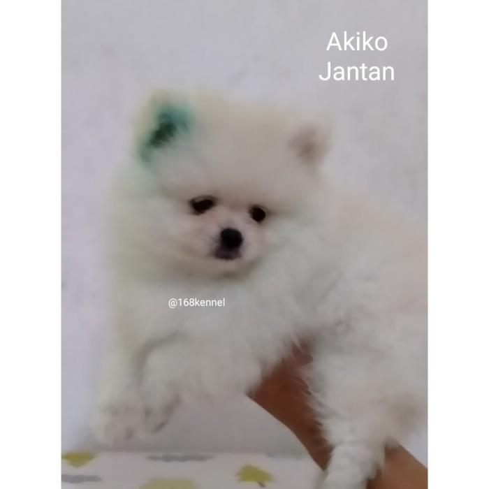 Jual Anjing Super Minipom Size Mini Kota Tangerang Lovemepetshop Tokopedia