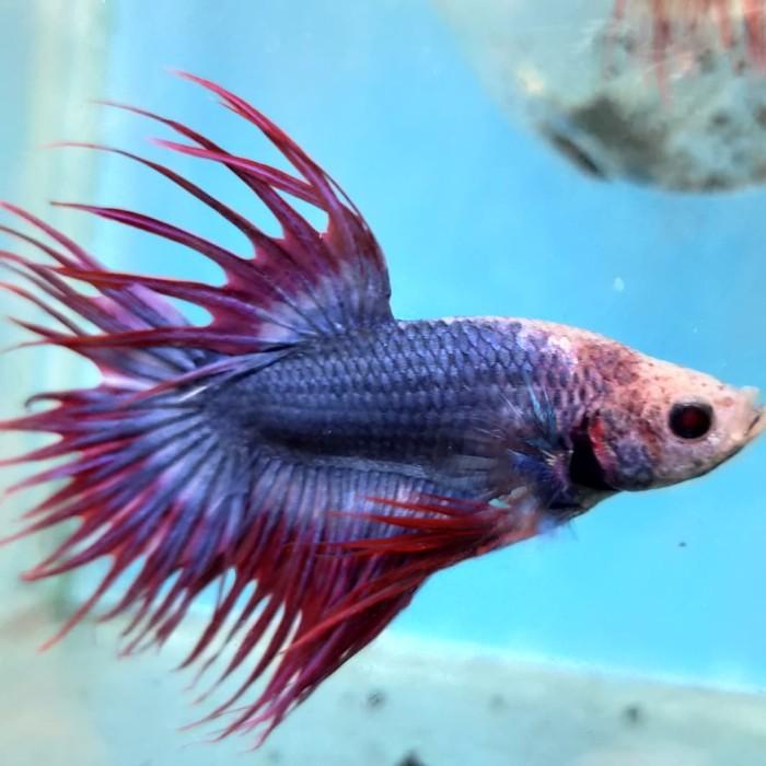 Jual Ikan Cupang Crowntail Mascot Kab Majalengka Fishsya Hara Tokopedia