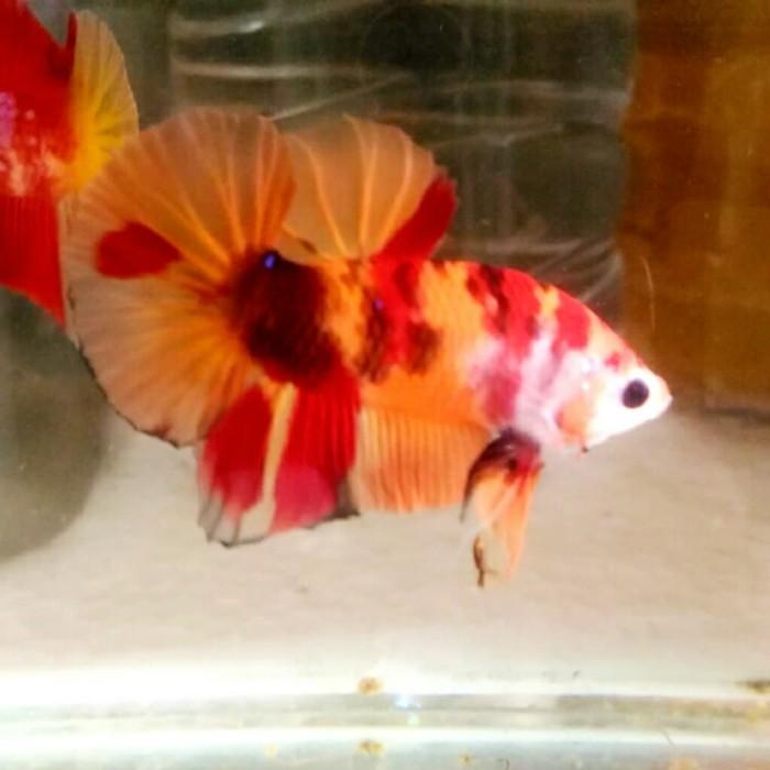 Jual Ikan Cupang Plakat Nemo Orange Base 02 Kab Bekasi Andika Betta Cikarang Tokopedia