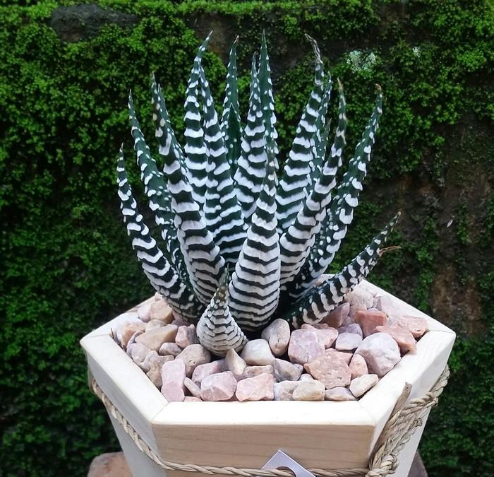 Jual Terbaru Caktus Taman Kebun Bunga Kaktus Mini Ready Big