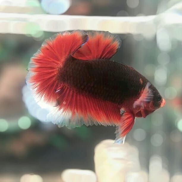 Jual Ikan Cupang Hellboy Black Vampire Kab Rejang Lebong Steampunk Fish Tokopedia