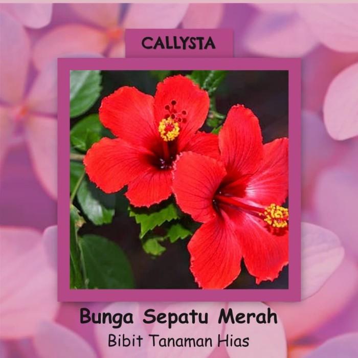 Jual Bibit Tanaman Hias Bunga Sepatu Merah Kota Batu Callysta Tree Tokopedia