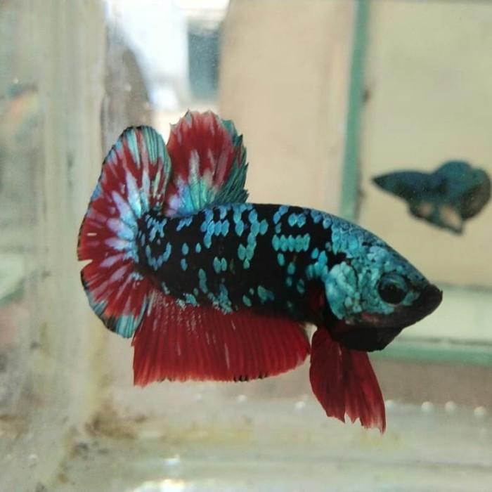 Jual Ikan Cupang Avatar Gordon Kab Bekasi Andika Betta Cikarang Tokopedia