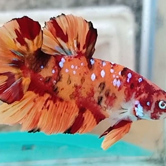 Jual Giant Nemo Galaxy Kota Depok Ikan Cupang Hias Depok Tokopedia