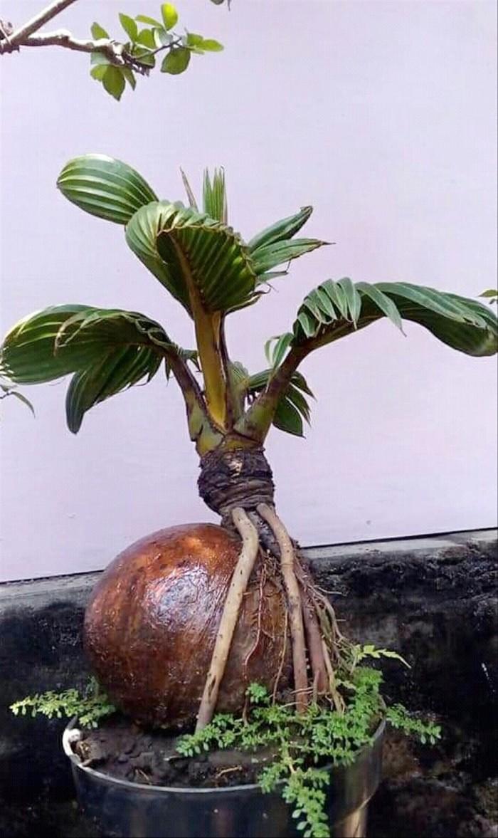 Jual Pohon Bonsai Kelapa Kab Bantul Halifcahaya260 Tokopedia