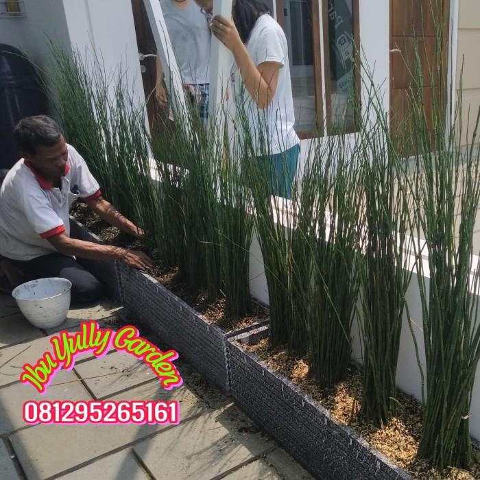 Jual Tanaman Bambu Air Dengan Pot Batu Ukuran 1 Meter Kota Tangerang Selatan Tokoibuyully Tokopedia