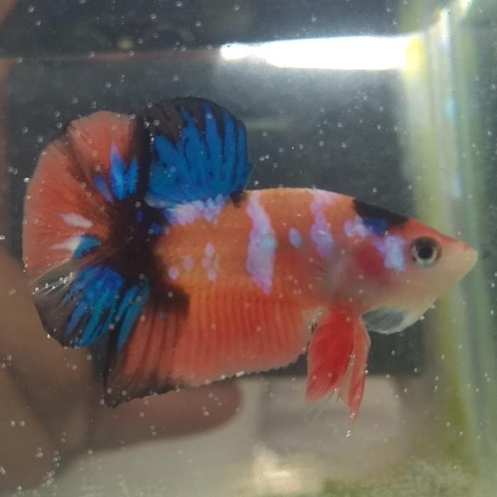 Jual Ikan Cupang Hias Nemo Galaxy 2 Kab Bogor Andraya Betta Store Tokopedia