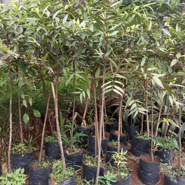 Jual Tanaman Pohon Damar Kab Bogor Tunaswangi Alam Tokopedia