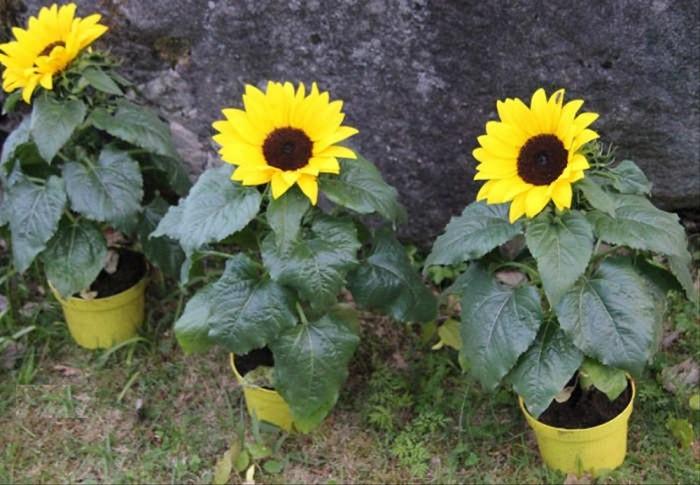 Jual Bunga Matahari Mini Sun Flowerbukan Anggrek Mawar Kamboja Melati Li Kota Surabaya Rainaashop Tokopedia