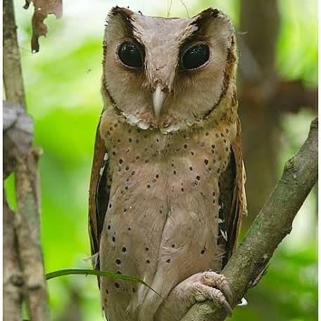 Jual Jual Burung Hantu Oriental Bay Owl Obay Kota Tangerang