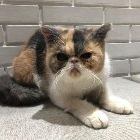 Jual Kucing Exotic Short Hair Betina High Quality Waffle Murah Jakarta Barat Ahadiat Shop Tokopedia