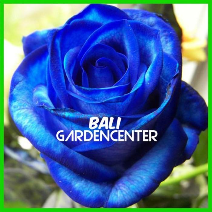 Jual Benih Biji Bibit 25 Bunga Mawar Biru Blue Rose Import Kota Denpasar Fahmi Esa Priyatnas Tokopedia