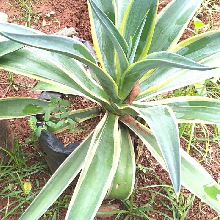 Jual Tanaman Hias Agave King Tanaman Berduri Kab Bogor Mustofa Nursery Tokopedia