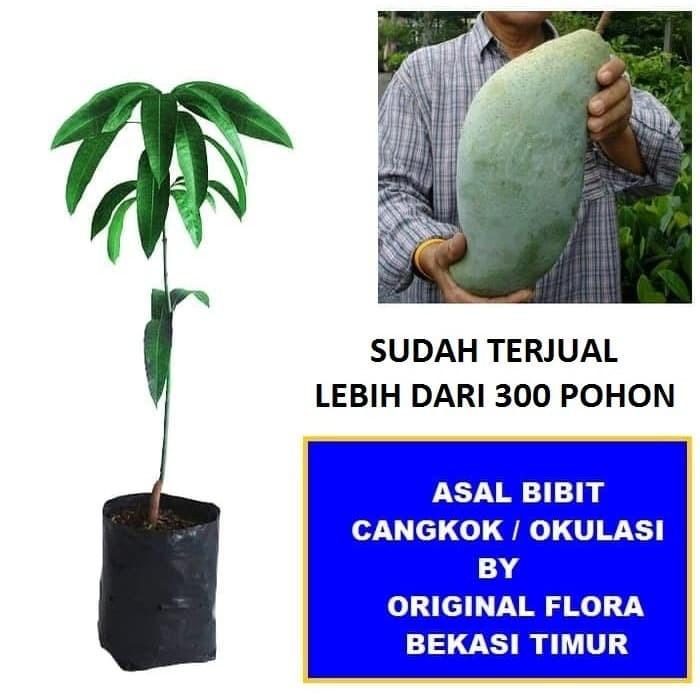 Foto Produk Bibit Mangga Mahathir Pohon Mangga Bibit Buah Mangga Mahatir dari ORIGINAL FLORA