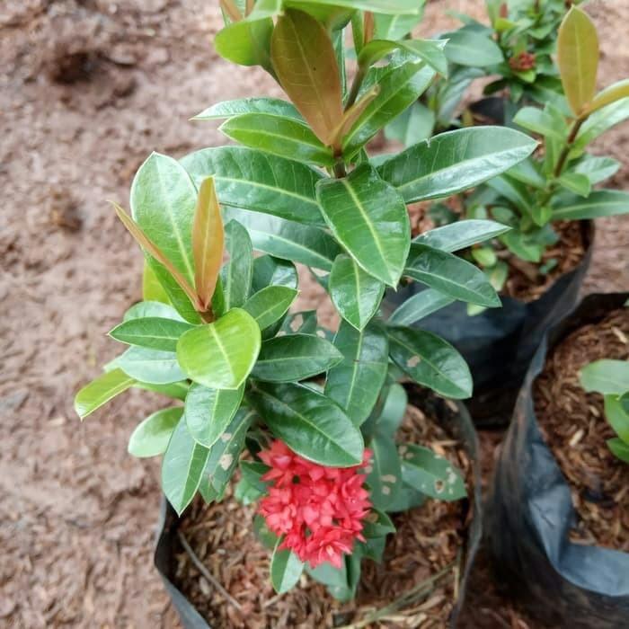 Jual Tanaman Bunga Asoka India Soka Jepang Tanaman Pot Dan Lis Tembok Kab Bogor Bagus Murah Jaya Tokopedia