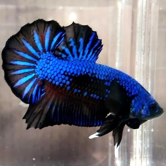 Jual Ikan Cupang Blue Black Samurai Grade A Jakarta Timur I Love Betta Tokopedia