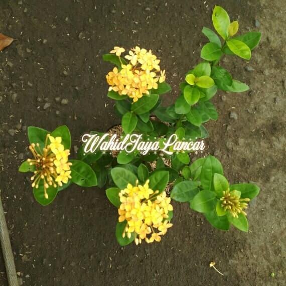 Download 5500 Gambar Bunga Soka Kuning Gratis
