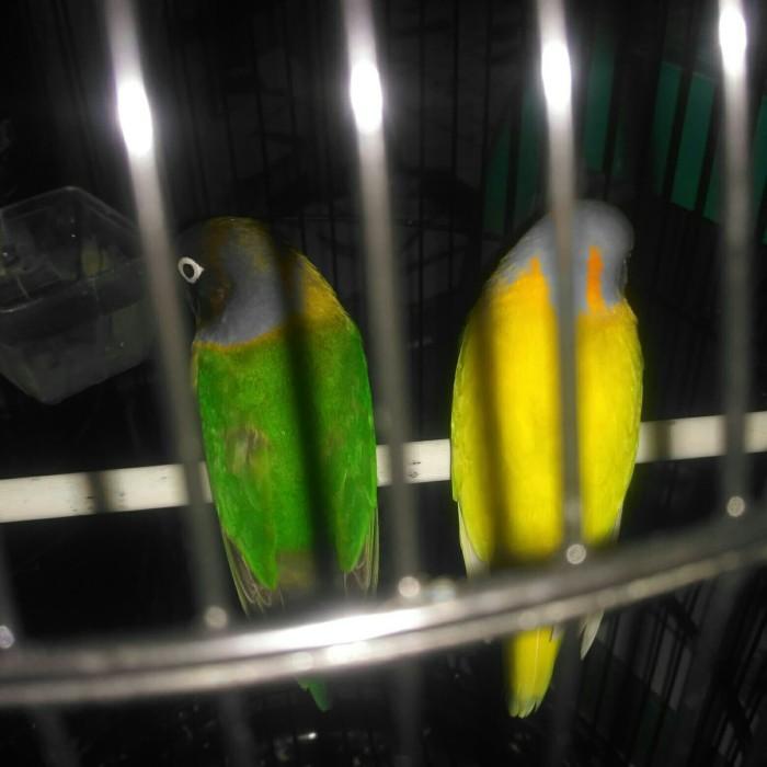 harga Burung love bird full set Tokopedia.com