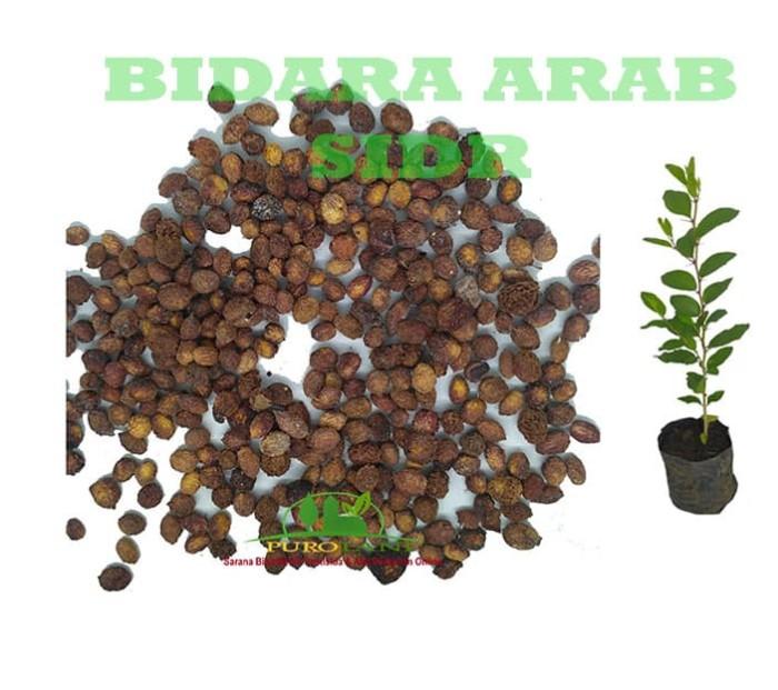 Foto Produk Benih Biji Bibit Bidara Arab Tanaman Bidara Pohon Bidara dari Purotani