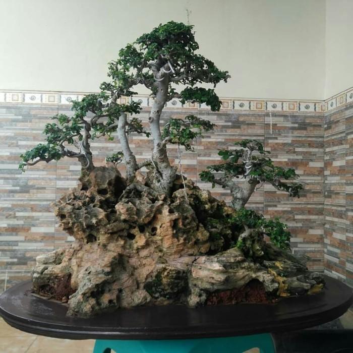 Jual Tanaman Hias Bonsai Serut On The Rock Serut Batu 001 Kota Kediri Jambronk Bonsai Tokopedia
