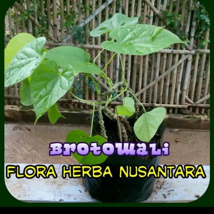 Jual Bibit Tanaman Tumbuhan Pohon Brotowali Herbal Obat Jamu Sayur Buah Jakarta Pusat Kemenangan Fajrul Tokopedia