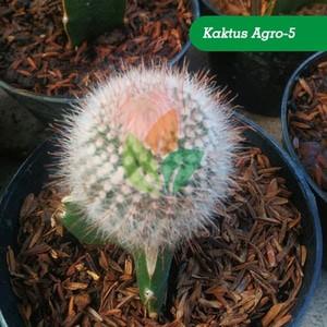 Jual Tanaman Kaktus Hias Agro 5 Kab Sidoarjo Aggro Bibit Murah Tokopedia