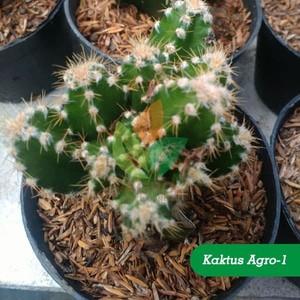 Jual Tanaman Kaktus Hias Agro 1 Kab Sidoarjo Aggro Bibit Murah Tokopedia