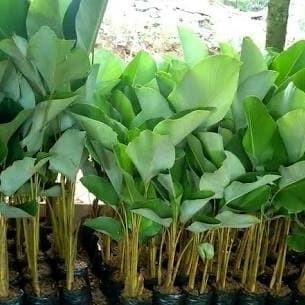 Jual Tanaman Hias Pisang Kalatea Pohon Pisang Calathea Kab Bogor Restu Bunda Flora Tokopedia