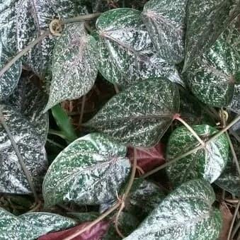 khasiat daun sirih merah untuk diabetes dieta