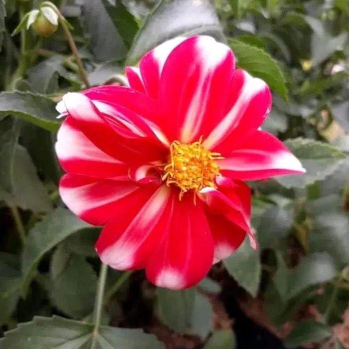 Jual Promo Tanaman Hias Bunga Dahlia Merah Putih Kota Batu Irwansus Tokopedia
