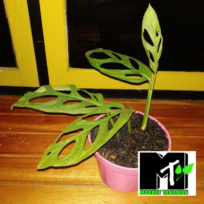 Jual Tanaman Hias Janda Bolong Plus Pot Pohon Monstera Obliqua Kab Bogor Market Tanaman Tokopedia