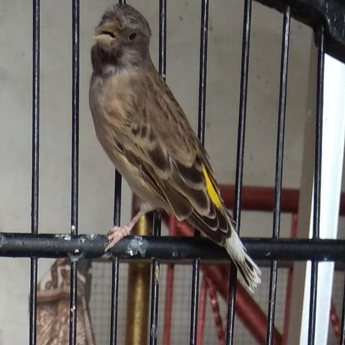 Jual Burung Blackthroat Gacor Kota Surabaya Stasiun Hobbies Tokopedia