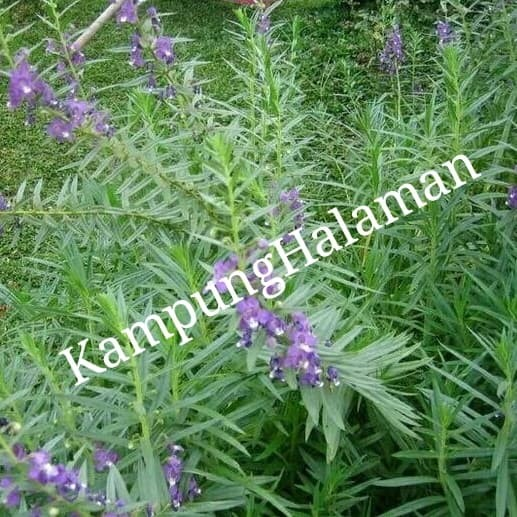 Jual Tanaman Bunga Lavender Pohon Wangi Pengusir Nyamuk Kota Bekasi Kampung Halamanku Tokopedia