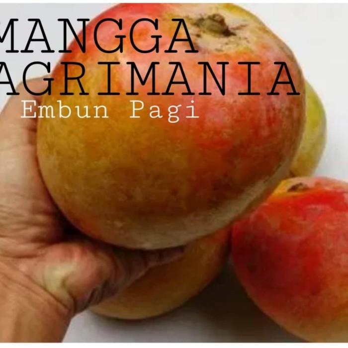 Bibit Pohon Mangga Agrimania