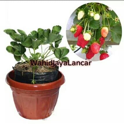 bibit tanaman buah STROBERI