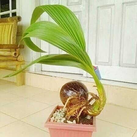 Jual Bonsai Kelapa Hibrida Pot Pink H5 Kab Lampung Timur