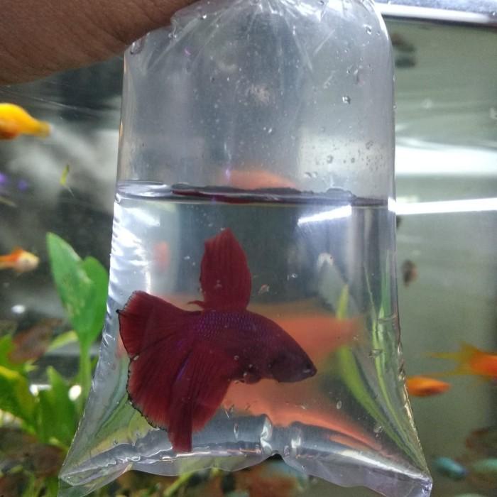 Jual Ikan Cupang Hias Halfmoon Dki Jakarta Denny Aquarium Tokopedia