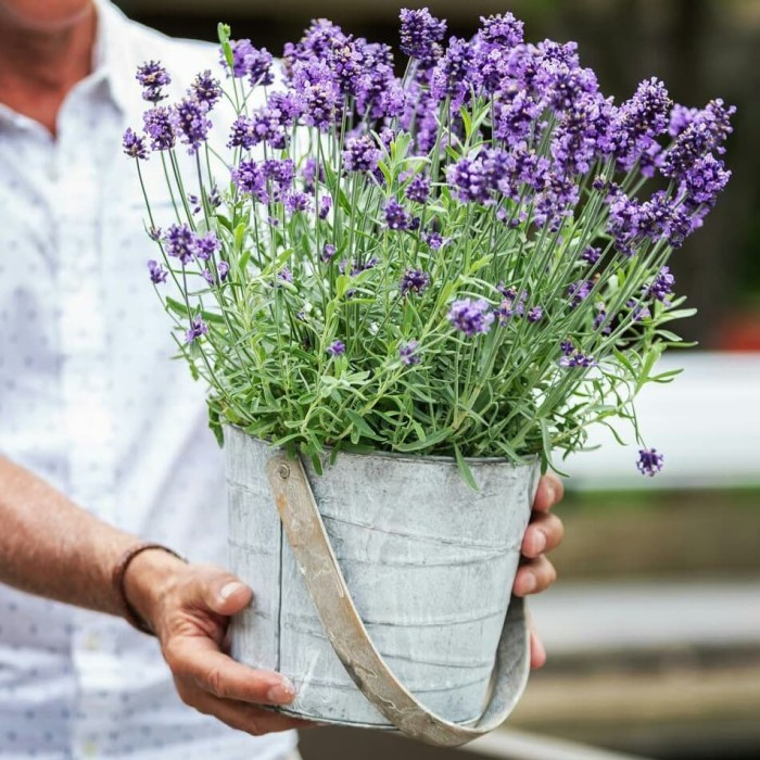 This is how ornamental plants lavender look a like
