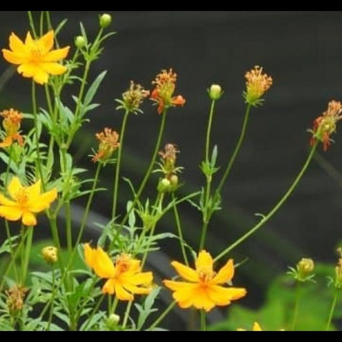 Jual 1 Ons Biji Benih Bunga Cosmos Kenikir Kuning Yellow Kab Bantul Kebun Bibit Murah Tokopedia