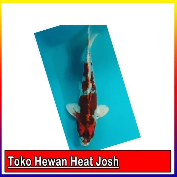 Download 91+ Gambar Ikan Koi Goshiki HD Terbaru
