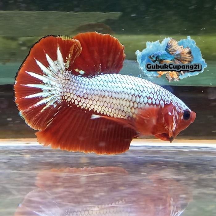 Unduh 80 Gambar Ikan Cupang Hellboy HD Terbaik