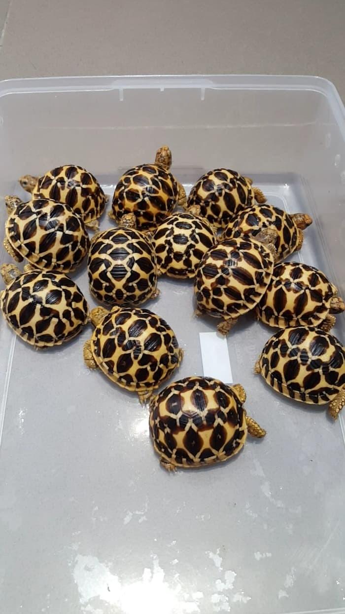 Jual Kura Kura Darat Indian Star Tortoise Kota Cilegon Rabushop