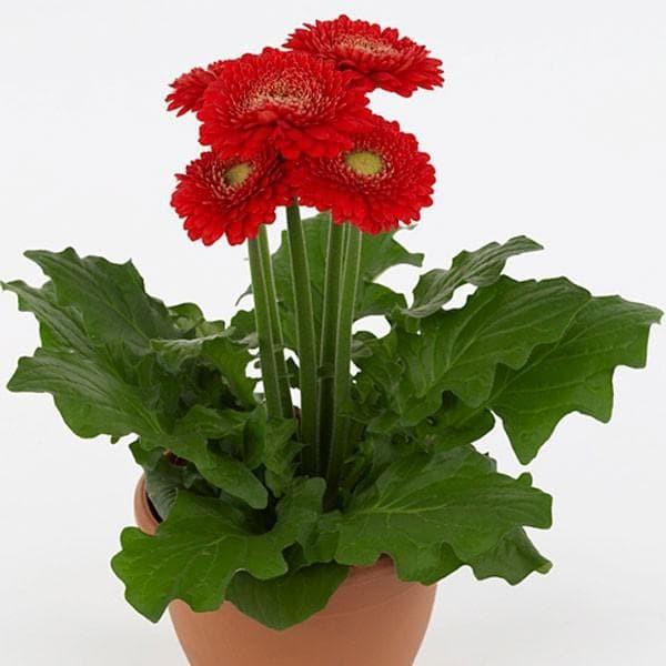 Amefurashi Benih / Bibit / Seeds Bunga Gerbera Daisy Import Flower