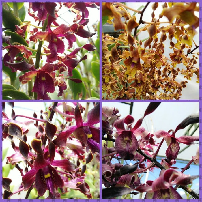 Jual Anggrek Dendrobium Seedling Keriting Kab Lamongan Siti